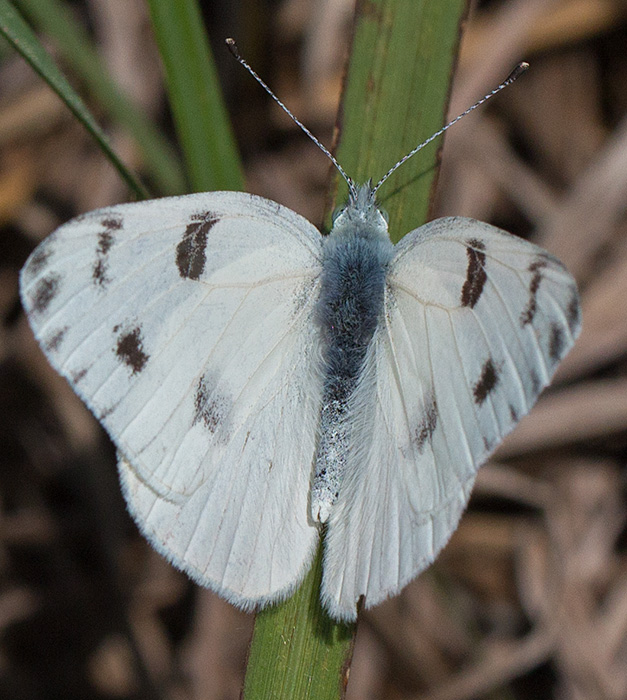 male checked white
