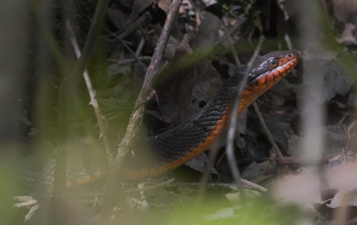 red-bellied watersnake