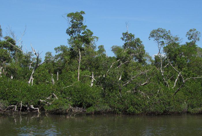 damaged mangrove
