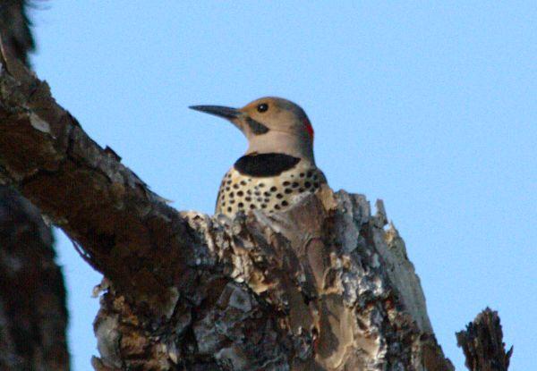 male northern flicker
