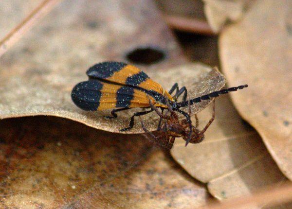 netwinged beetle