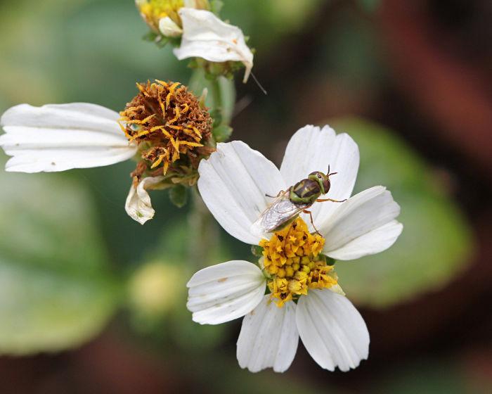 Hedriodiscus trivittatus (soldier) fly