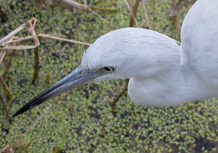 immature little blue heron