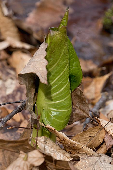 skunk leaves