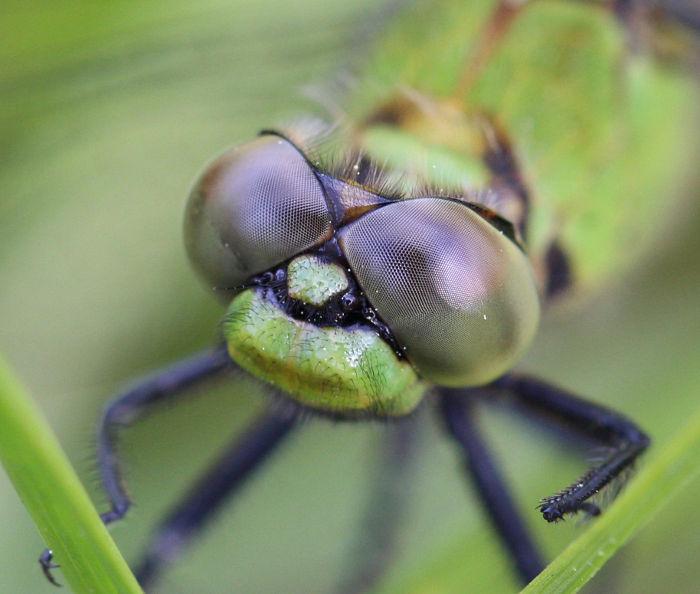 pondhawk eyes