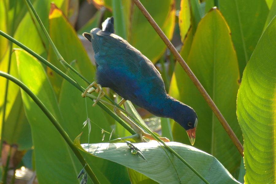 adult purple gallinule