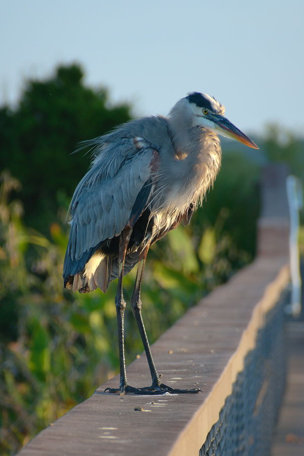 dishevelled great blue heron