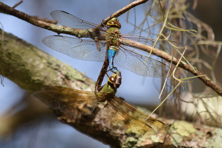 mating common green darners