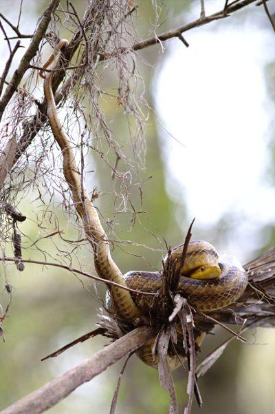 yellow rat snake