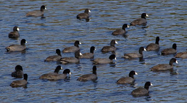 coots and more coots
