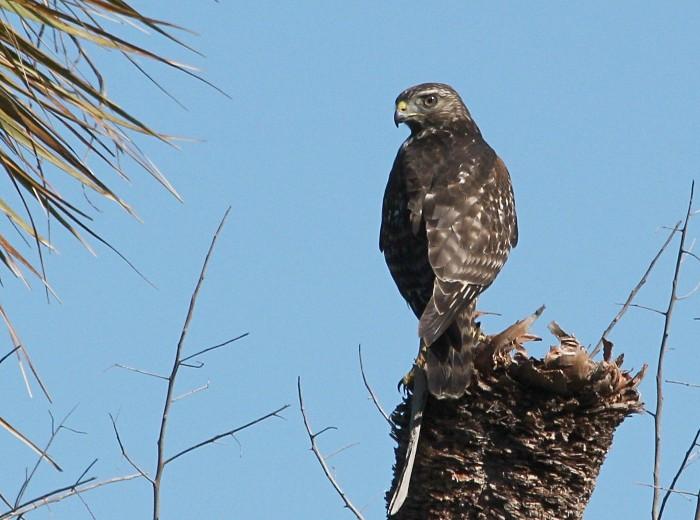 hawky type bird