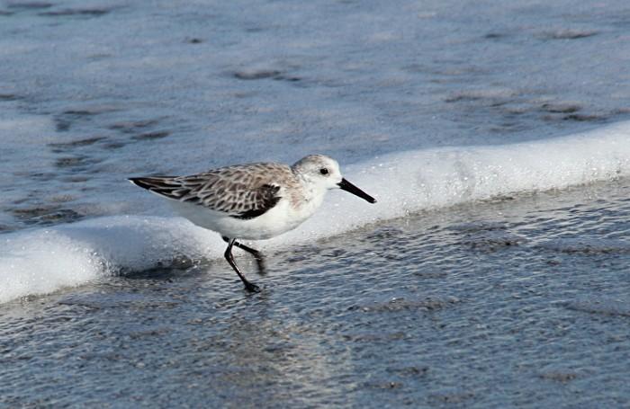 sanderling running at wave edge