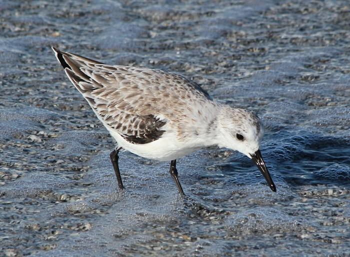 wet sanderling