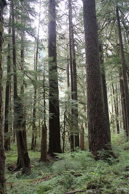 sol duc trees